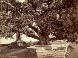 Banian tree at Hardwar.